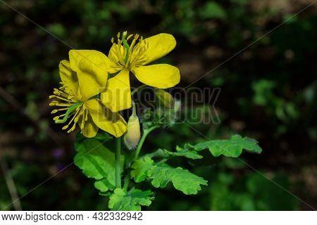 Yellow Flowers Of Celandine (latin: Chelidonium Majus) Close Up. Medicinal Herbaceous Plant. Soft Se