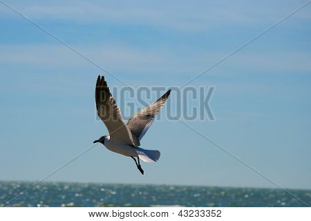 Seagull in Flight with Ocean in Background