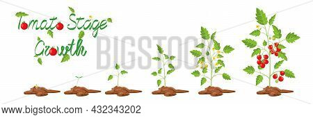 Growth Stages Of Tomato Plant. Cartoon Vector Illustration. Life Cycle Of Tomato From Seed To Fruiti