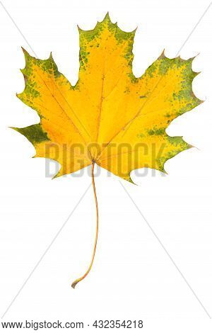 Autumn Maple Leaf Isolated On A White Background. Yellow Maple Leaf With Green Edges As Design Decor