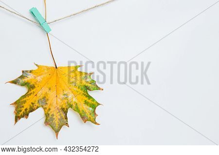 One Maple Leaf Hanging On Clothespins. Fresh Yellow With Green Maple Leaf On White Background On The