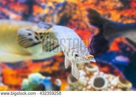 Spotted Gar Lepisosteus Oculatus Swims In The Aquarium.