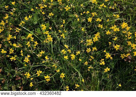 Small  Yellow Wild Flowers Blooming In The Green Grass. Yellow Flowers On A Green Background. Green