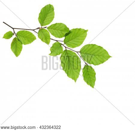 Beech branch with fresh green leaves isolated on white background.