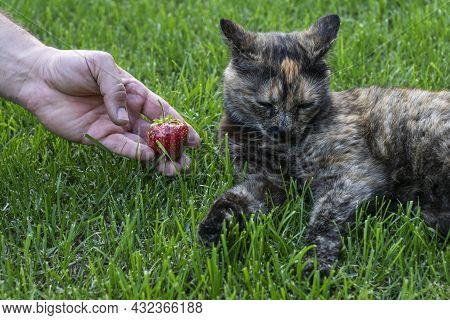 Man's Hand Holds Big Red Strawberry And Offers It To Brown Cat Who Is Sniffing Strawberries Lie On G