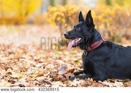 Purebred Dog Black German Shepherd Performing The Command To Lie On Autumn Leaves In The Park Outdoo