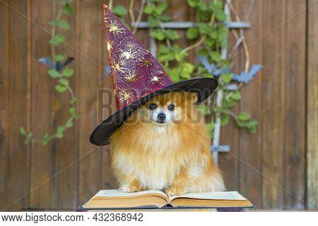 Halloween Pet. Cute Dog Orange Pomeranian Spitz In Costume Black Witch Hat With Magic Book Spells On