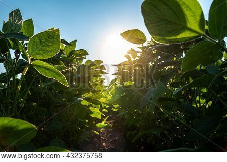 A Field Of Young Soybean Shoots Stretch Up. Rows Of Soy Plants On An Agricultural Plantation. The Su