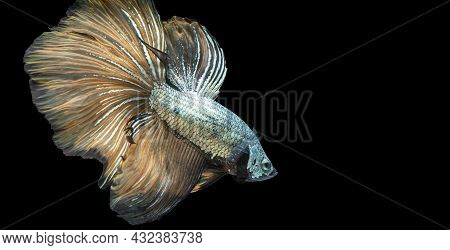 Rhythmic Of Betta Fighting Fish Over Isolated Black Background. The Moving Moment Beautiful Of Orang