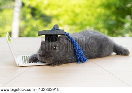 Newborn Tiny Bunny Grey Rabbit Wear Graduation Cap With Small Laptop While Lying On The Wood Looking