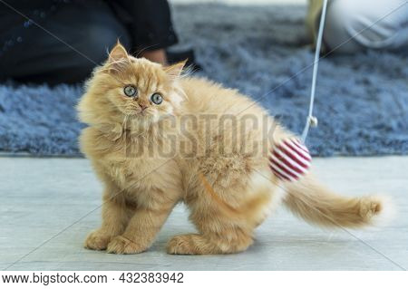 Adorable Little Brown Cat Pedigree Persian Long-haired Gaze Playful Red White Ball On Top While Owne
