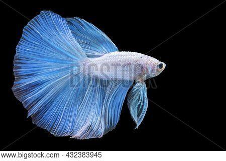 White And Blue Siamese Betta Fighting Fish Beautiful Luxury Movement Dance Power Over Isolated Black