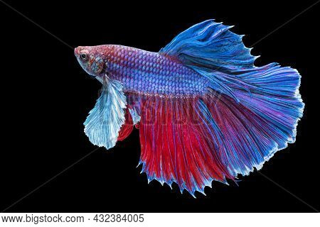 Halfmoon Betta Splendens Fighting Fish In Thailand On Isolated Black Background. The Moving Moment B