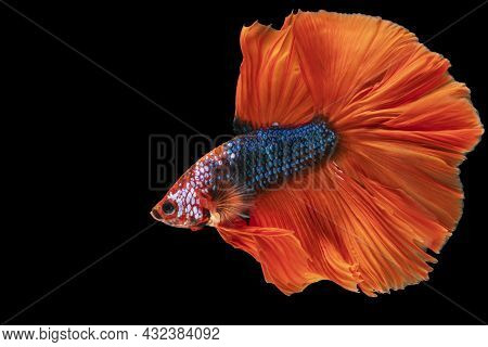 Multicolor Betta Splendens Fighting Fish In Thailand On Isolated Black Background. The Moving Moment