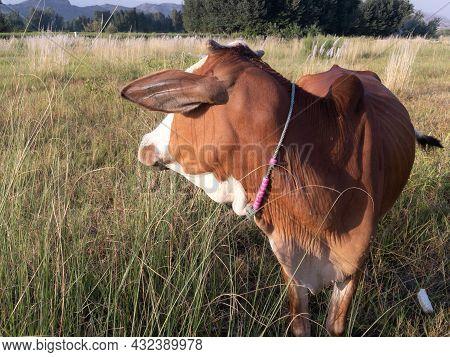 Beautiful Cow Photo In River Swat In Fields