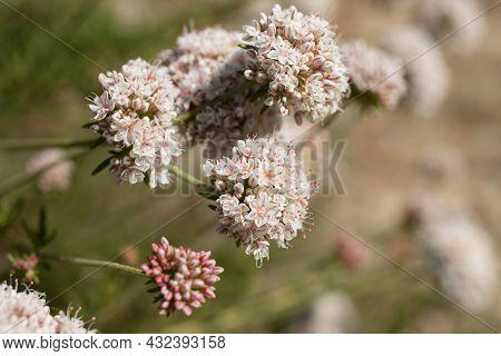 White Cymose Head Inflorescences Of California Buckwheat, Eriogonum Fasciculatum, Polygonaceae, Nati