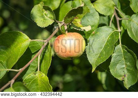A Branch With A Red Apple On A Background Of Green Leaves And A Blurry Background.