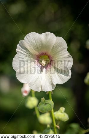 A White Round Flower With A Pink Center On A Green Blurred Background, Taken Close-up.