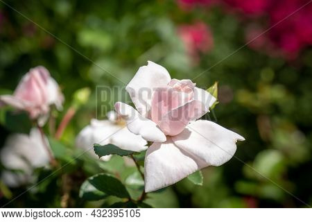 A Small Rose Of Pale Pink Color On A Mottled Blurry Background, Taken Close-up.