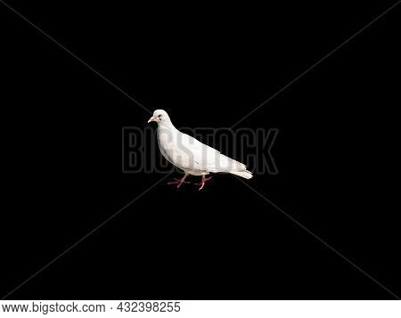 White Dove Bird Isolated On A Black Background. Feathered Birds. White Doves. Black Background. Pige
