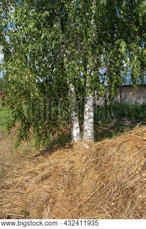 Three White Birch Trunks Behind Green Leaves And A Pile Of Hay In The Foreground On A Sunny Day.