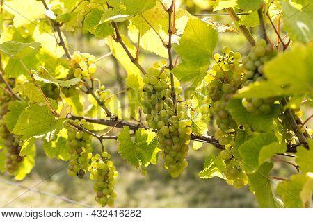 Grape Field Growing For Wine. Summer Scenery. Green Grape Garden, Winery Farm, Vine For Food Healthy