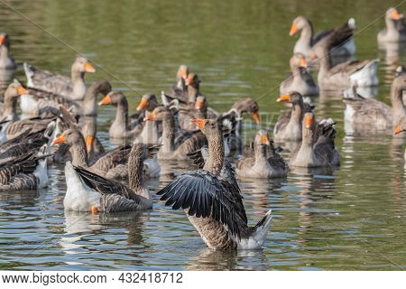 A Flock Of Domestic Geese On The River On A Hot Sunny Summer Day. Domestic Geese Swim In The River.