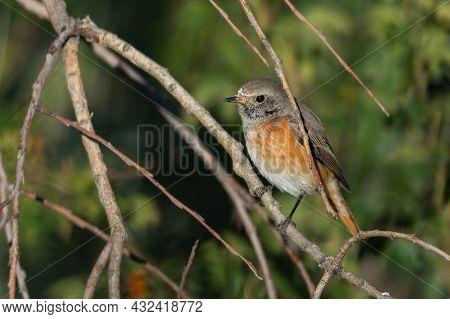 Common Redstart Phoenicurus Phoenicurus Is A Songbird. Sitting On A Tree Branch