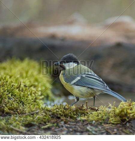 Great Tit, Parus Major In The Wild. Songbird.