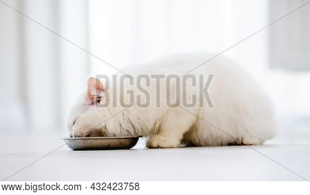 Lovely fluffy white ragdoll cat sitting on the floor and eating feed from bowl in light room. Adorable purebred feline pet outdoors with food