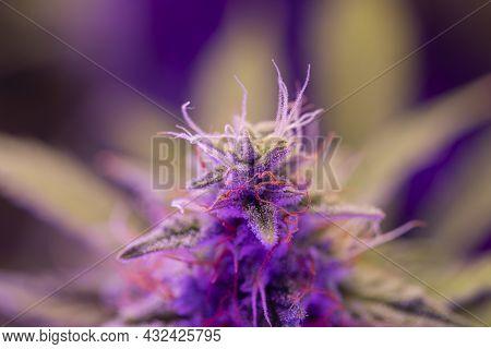 Indica Flower. Fresh Green Weed In Details. Cbd Thc In Pot. Macro Trichomes Cannabis. Marijuana Bud
