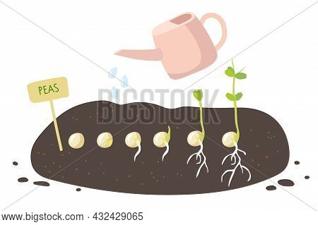 Plant Growing Process. Green Pea Seeds Germinate In Ground. Labelling Plate, Watering Can, Seeds At