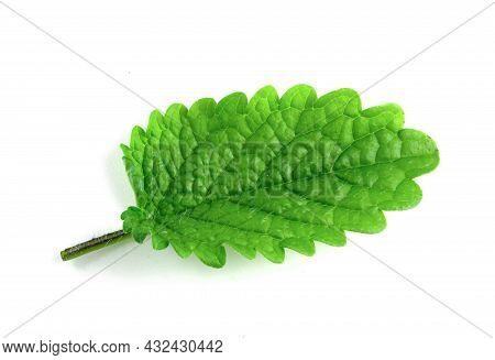 Green Leaf Of Lemon Balm Isolated On White Background