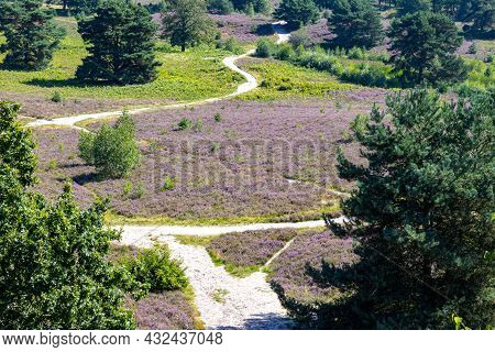 Hiking Trails Among Heather With Purple Flowers In The Dutch Countryside With Trees In The Backgroun