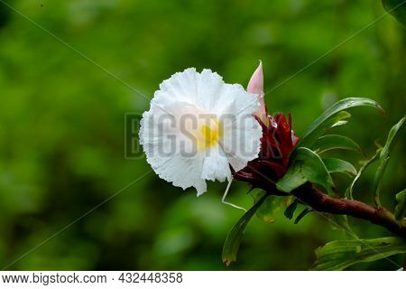 Flower Of Crepe Ginger Or Cheilocostus Speciosus, Medicinal Plant
