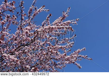 Deep Blue Sky And Branches Of Blossoming Purple Leaved Prunus Pissardii In April
