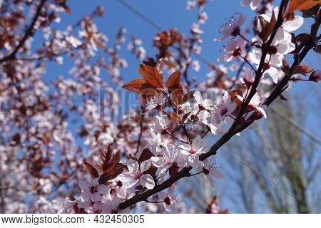 Florescence Of Purple Leaved Prunus Pissardii In April