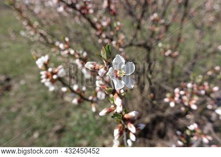 1 White Flower And Numerous Buds Of Prunus Tomentosa In March
