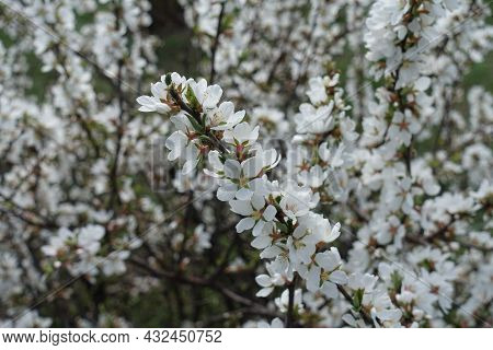 A Lot Of White Flowers Of Prunus Tomentosa In March