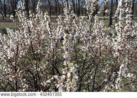 Bush Of Blossoming Prunus Tomentosa In March