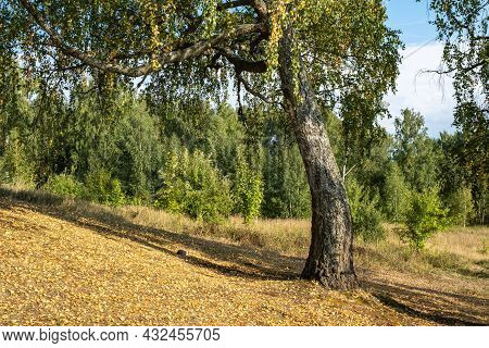 A Thick Trunk Of An Old Birch Tree With Large Branches With Yellow And Green Leaves On A Sunny Day.