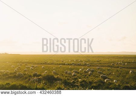Livestock Farming Industry North Of France, Brittany Region. Sheep Pasture In Field On Shores Of Atl