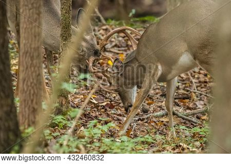 One Older Buck With Bigger Antlers Wrestling With A Younger Male Deer With Smaller Antlers Both Spar