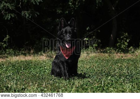 Very Beautiful Thoroughbred Female Dog. Black Long Haired German Shepherd With Red Bandana Around Ne