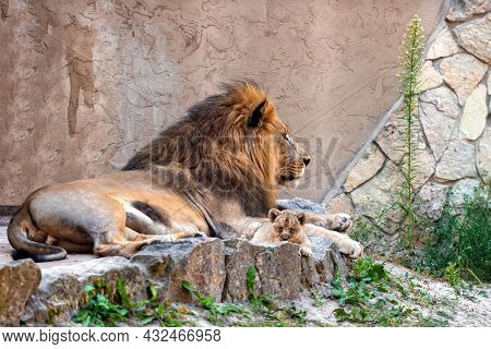 Southern African Lion, Panthera Leo, Rests On The Rocks With Her Baby