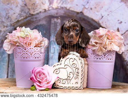 Dog dachshund puppy , dog portrait and symbol hearts