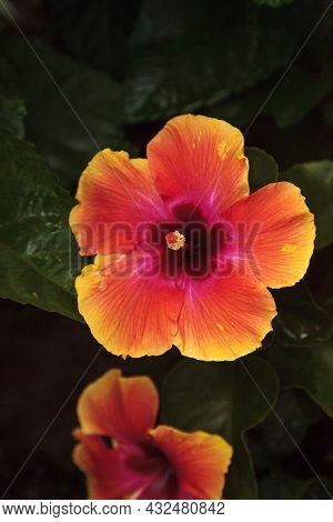 Orange And Red Fiesta Hibiscus Flower Blooms In A Naples, Florida Garden.