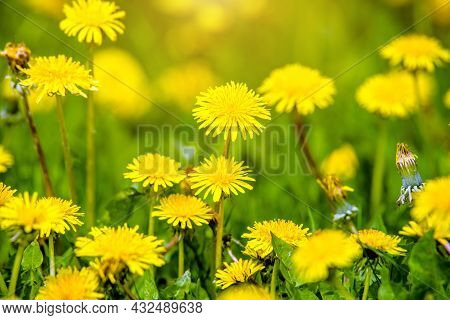 Yellow Dandelions Blooming On Grass Background.yellow Dandelions Blooming.