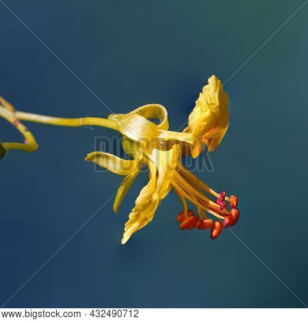 A Macro Close Up Of Native Blooming, Yellow Palo Verde Tree Flower Shows Golden Petals And Stamen Ce
