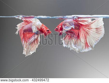 Siamese Fighting Fish,betta Splendens, 2 In A Betta Fish Tank, Blur Background, Halfmoon Betta.
